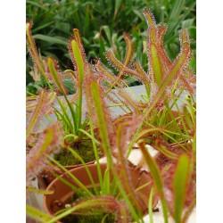 Sundew Octopus Plant (Drosera ssp.)