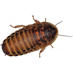 Wholesale Dubia Roaches