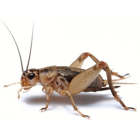 Wholesale Crickets
