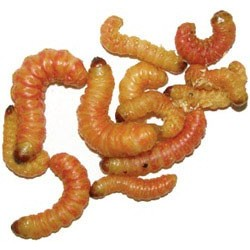 Wholesale Butterworms