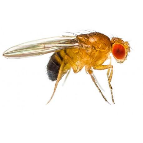 Wholesale Fruit Flies