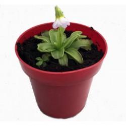 "Butterwort (Pinguicula primuliflora) - 3"""