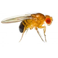 Wholesale Fruit Flies
