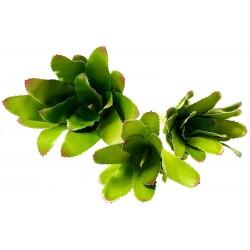 Bromeliad - Selecta - SM (Lugarti)