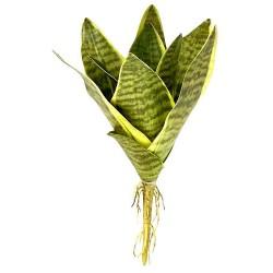 Snake Plant - Laurentii (Lugarti)