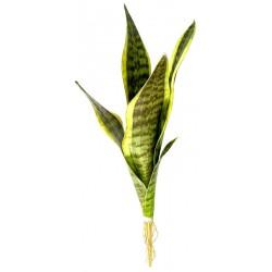 Snake Plant - Laurentii - LG (Lugarti)