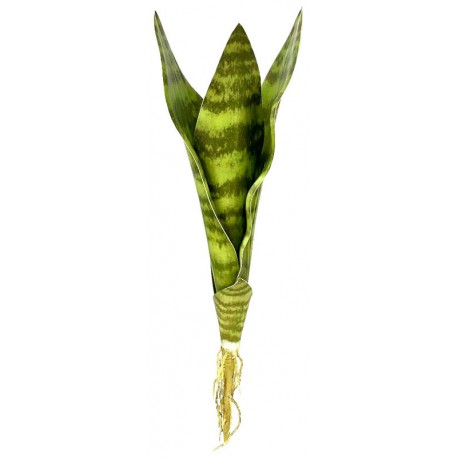 Snake Plant - Zeylanica - MD (Lugarti)